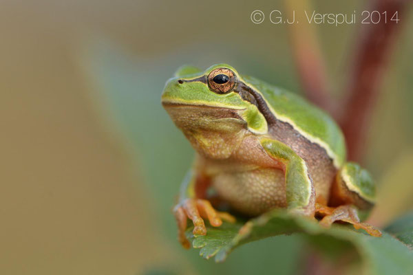 Eastern Tree Frog - Hyla orientalis