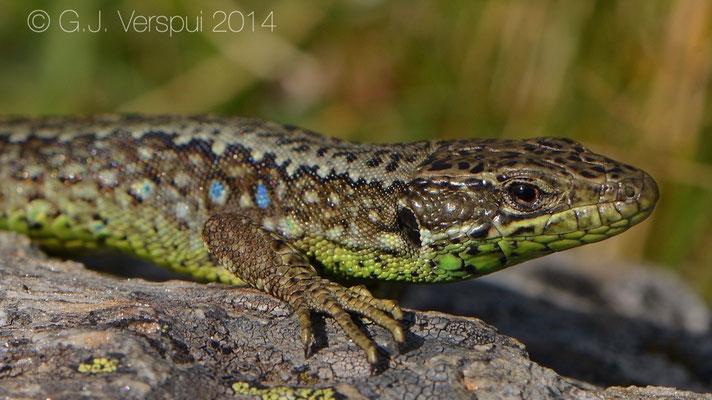 Galan's Rock Lizard - Iberolacerta galani, Not in situ