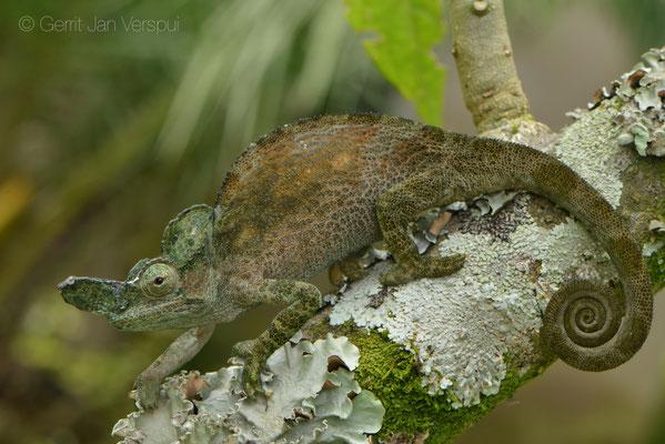 Male Rwenzori Plate-nosed Chameleon - Kinyongia xenorhina