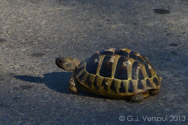 Hermann's Tortoise - Testudo hermanni   In Situ