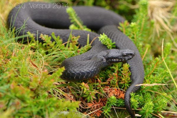 Seoane's Viper - Vipera seoanei seoanei, 2nd melanistic