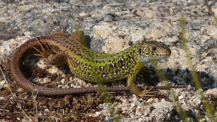 Schreiber's Green Lizard - Lacerta schreiberi