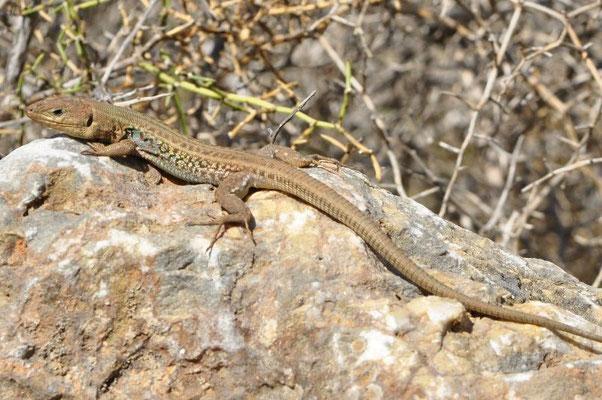 Peloponnese Wall Lizard - Podarcis peloponnesiacus (Male)   In Situ