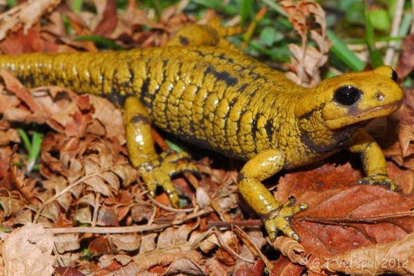 Fire Salamander - Salamandra salamandra alfredschmidti