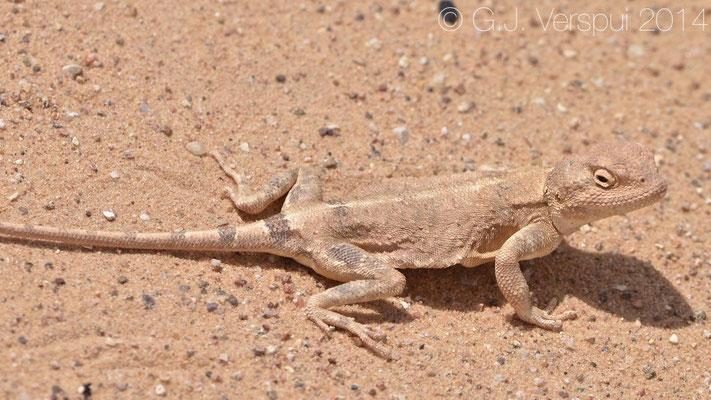 Desert Agama - Trapelus pallidus, In Situ