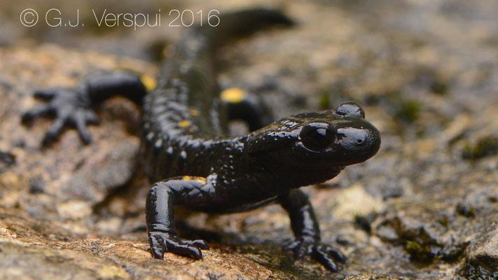 Salamandra atra pasubiensis.