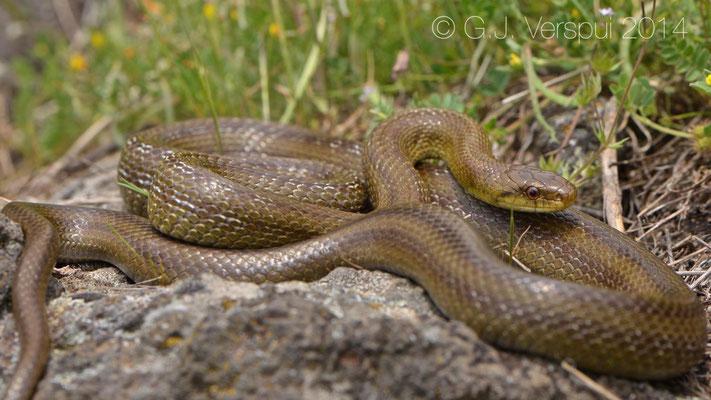 Italian Aesculapian Snake - Zamenis lineatus