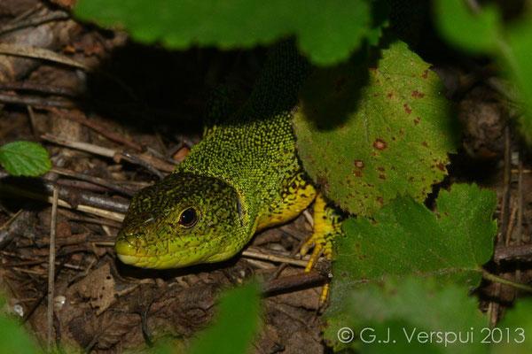 Balkan Green Lizard - Lacerta trilineata
