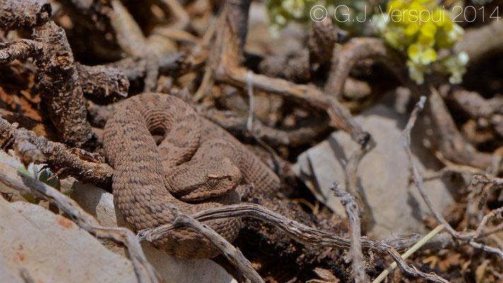 Lebanon Viper - Montivipera bornmuelleri, In Situ