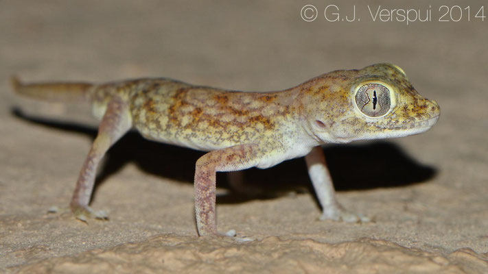 Middle Eastern Short-Fingered Gecko - Stenodactylus doria, In Situ