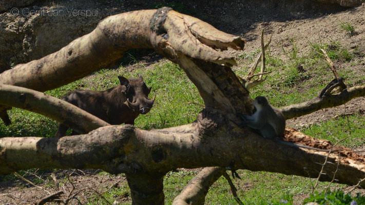 Warthog - Phacochoerus africanus and a Vervet Monkey