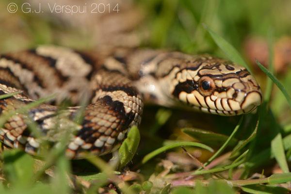 Juvenile Russian Rat Snake - Elaphe schrenckii