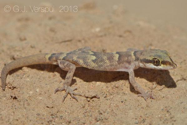 Sand Gecko - Tropiocolotes nattereri
