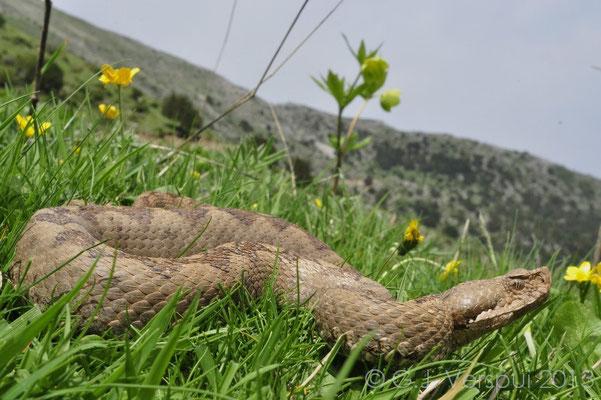 No horned -- Nose-horned Viper - Vipera ammodytes