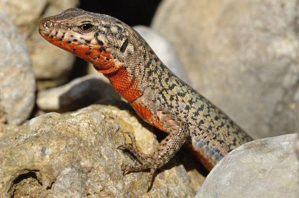 Erhard's Wall Lizard - Podarcis erhardii livadiacus (Male)   In Situ