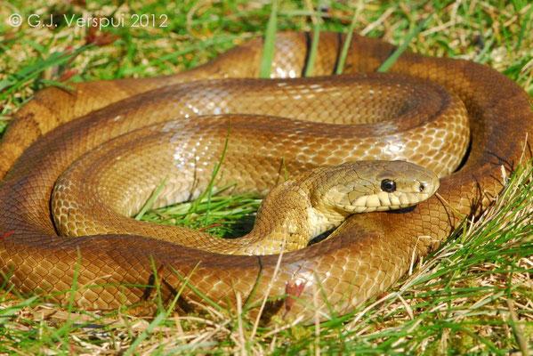 Russian Rat Snake - Elaphe schrenckii