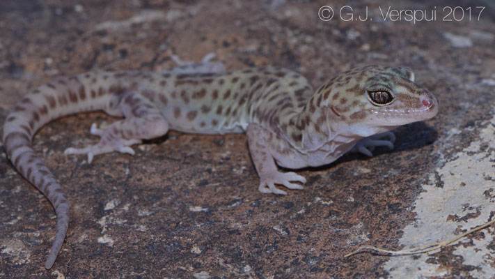 Coleonyx reticulatus