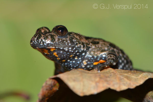 Fire-bellied Toad - Bombina bombina