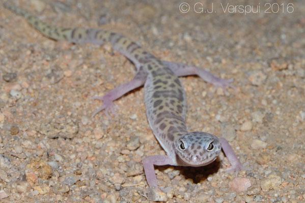 Western Banded Gecko (Coleonyx variegatus) Not In Situ
