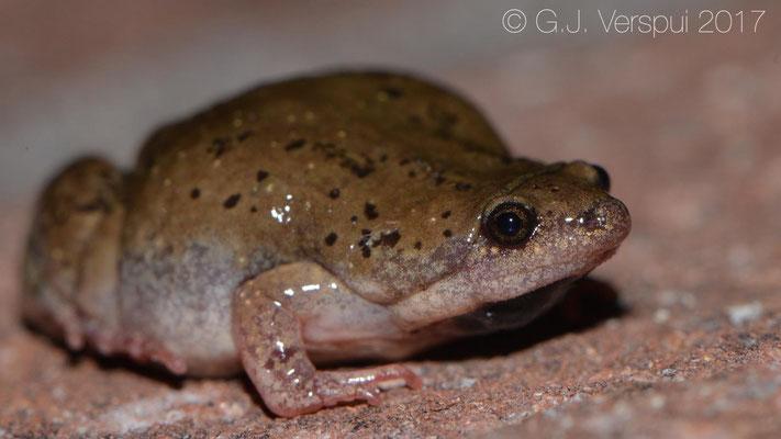 Gastrophryne mazatlanensis