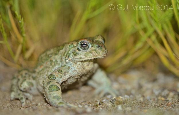 Green Toad - Bufotes viridis siculus