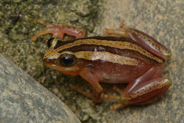 Four-lined Banana Frog - Afrixalus quadrivittatus