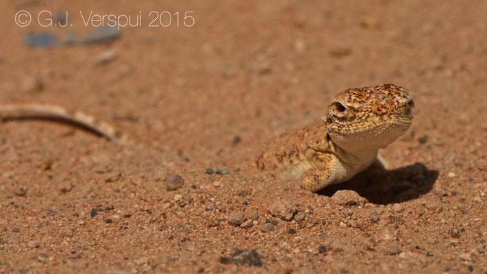 Phrynocephalus arabicus