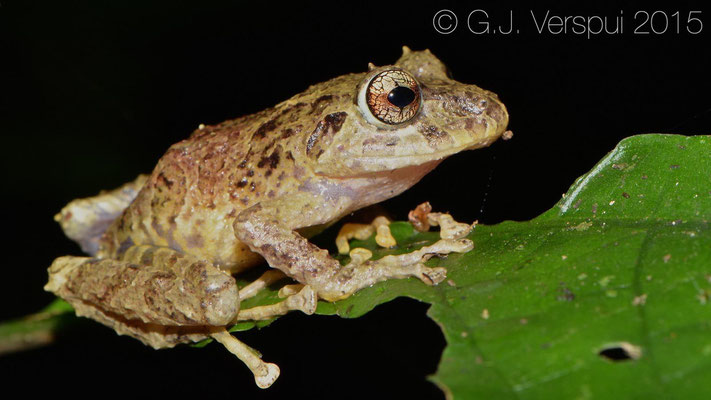 Pristimantis cruentus, In Situ