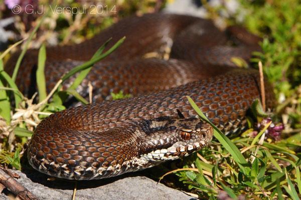 Seoane's Viper - Vipera seoanei seoanei