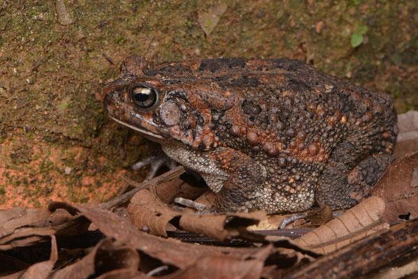 Guttural Toad - Sclerophrys gutturalis