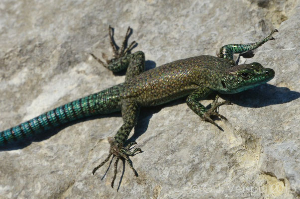 Sharp-snouted Rock Lizard - Dalmatolacerta oxycephala