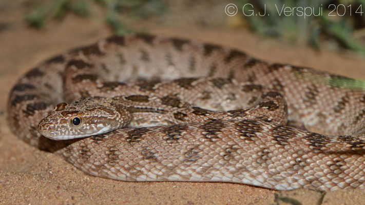 Diadem Snake - Spalerosophis diadema cliffordii