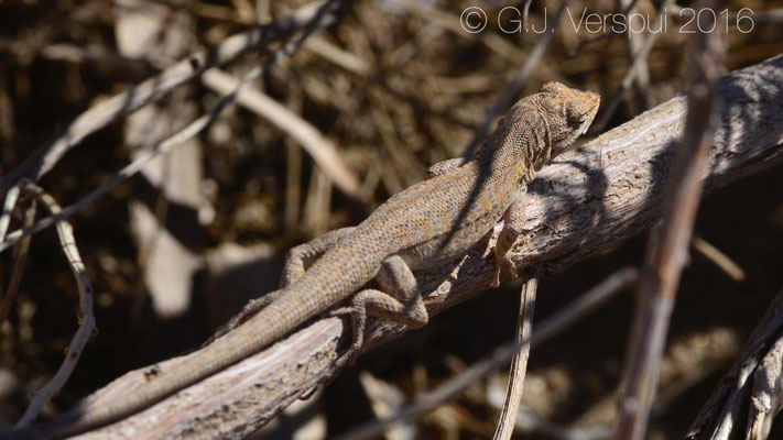 Long-tailed Brush Lizard (Urosaurus graciosus)