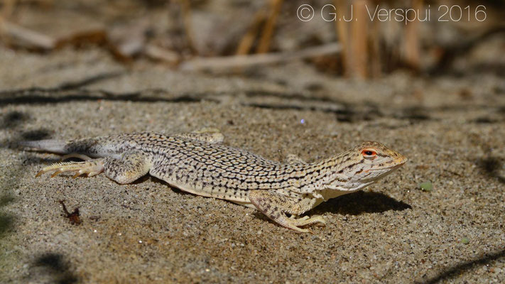 Coachella Fringe-toed Lizard (Uma inornata)