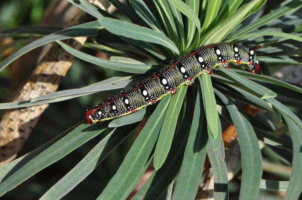 Caterpillar of the Spurge Hawk-moth - Hyles euphorbiae