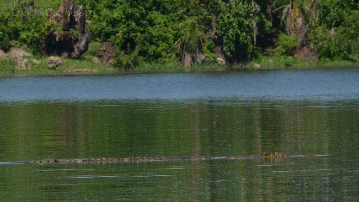 Nile Crocodile - Crocodylus niloticus