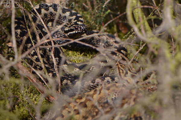Male Adder with his girl - Vipera berus, In Situ