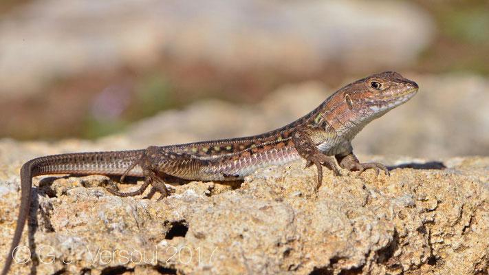 Acanthodactylus 'lineomaculatus'