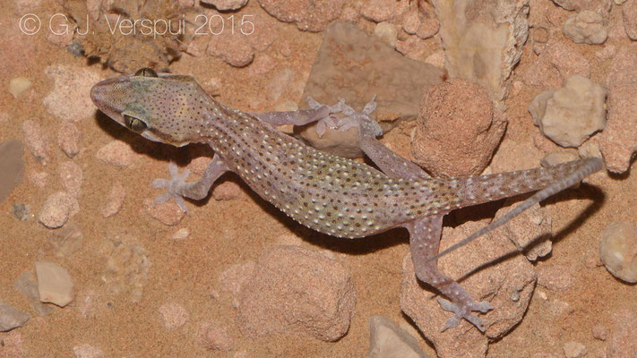Hemidactylus persicus