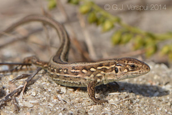Sand Lizard - Lacerta agilis chersonensis, Not In Situ