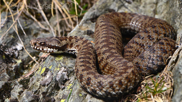 Vipera walser (female)