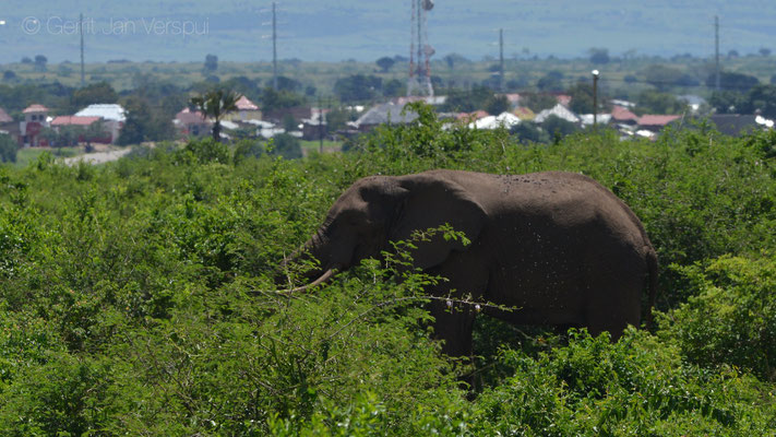 Lunch with a African Bush Elephant - Loxodonta africana