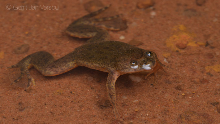 Lake Victoria Clawed Frog - Xenopus victorianus