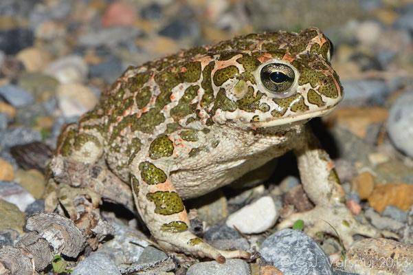 Green Toad - Bufo viridis balearicus   In Situ