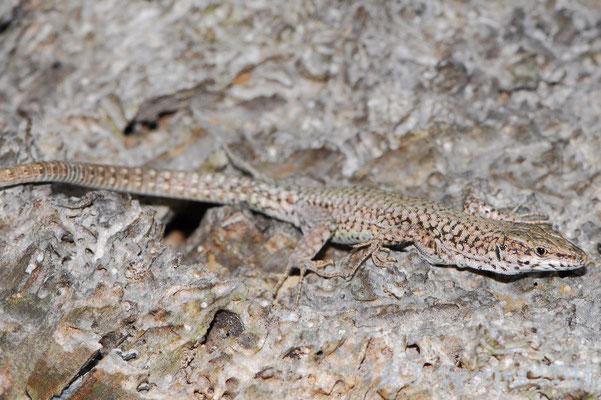 Catalonian Wall Lizard - Podarcis liolepis