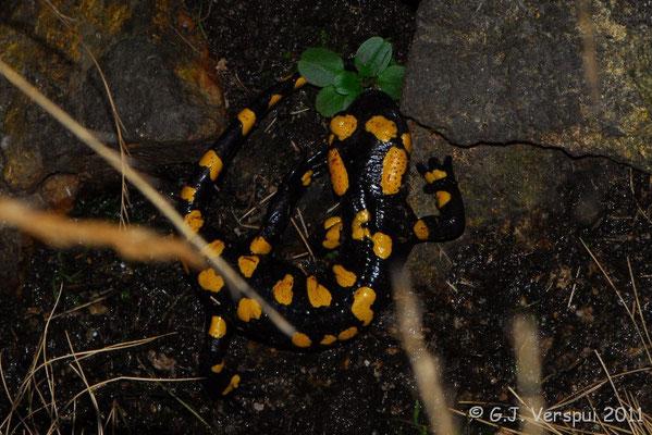 Fire Salamander - Salamandra salamandra almanzoris    In Situ
