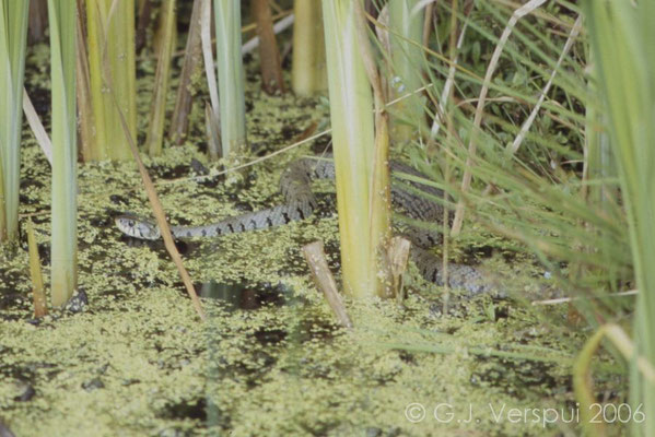 Grass Snake -  Natrix natrix  In Situ