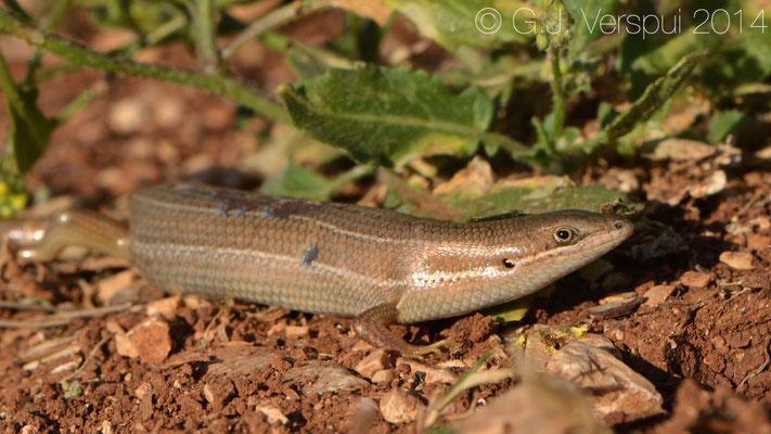 Bridled Mabuya - Trachylepis vittata