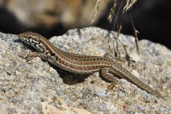 Milos Wall Lizard - Podarcis milensis (female)