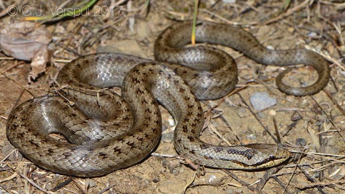 Smooth Snake - Coronella austriaca acutirostris